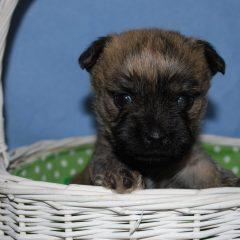 Cairn Terrier Behaviour
